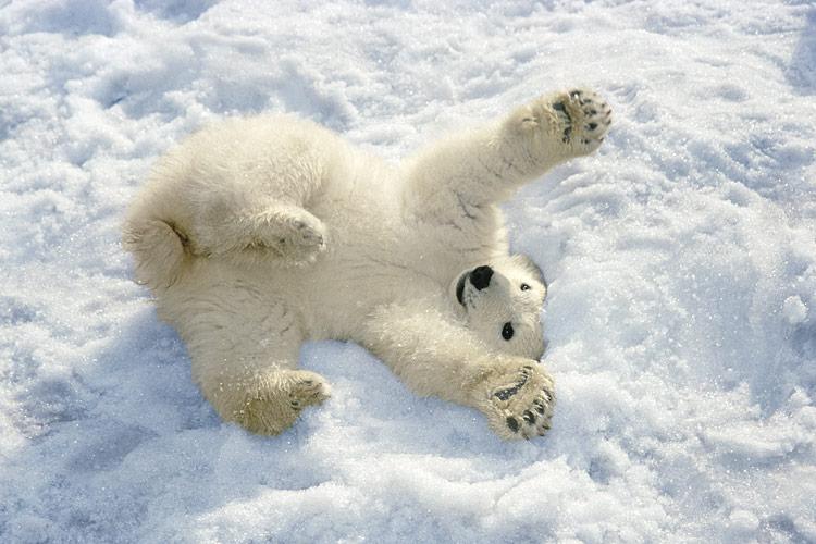 Top Eisbär by lea krohn on Prezi Next #WK_01